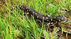 Ambystoma kalifornijska