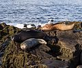California sea lions in La Jolla (70413).jpg
