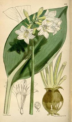Caliphruria subedentata1CURTIS.jpg