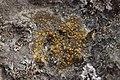 Caloplaca sp. (40613451101).jpg