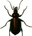 Calosoma inquisitor Jacobson.png