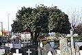 Camélia japónica no Cemitério de Agrela - 19.jpg