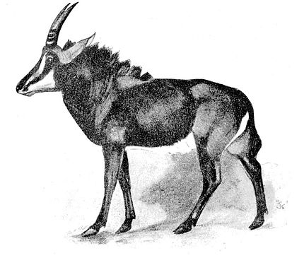 Cambridge Natural History Mammalia Fig 162.jpg