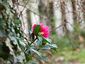 Camellia (6824811412).jpg