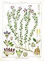 Campanula alphonsii Rungiah.jpg