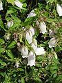 Campanula punctata - Flickr - peganum (3).jpg