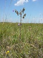 Campanula sibirica (subsp. sibirica) sl7.jpg