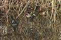 Canard colvert et Foulque macroule.jpg