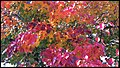 Canberra Autumn Leaves-06 (37122918026).jpg
