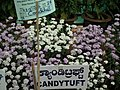 Candituff from Lalbagh flower show Aug 2013 8025.JPG