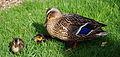 Canetons et leur maman canard.jpg