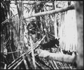 Canines of the QM War Dog Platoon were used on Biak Island, off the coast of New Guinea, to track down Japanese... - NARA - 531196.tif