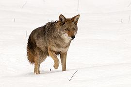 Canis latrans (Yosemite, 2009).jpg