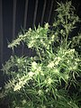 Cannabis tree.jpg