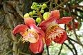 Canon Ball Tree Flower (നാഗലിംഗ പൂവ്) (8726438668).jpg