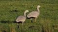 Cape Barren Goose (Cereopsis novaehollandiae) (31283129755).jpg