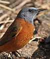 Cape Rock Thrush, Monticola rupestris at Walter Sisulu National Botanical Garden, Johannesburg, South Africa (male) (19613495181).jpg
