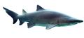 Carcharias taurus in UShaka Sea World WB.png