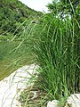 Carex acutiformis plant (02).jpg