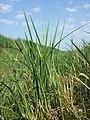 Carex acutiformis sl2.jpg