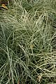 Carex comans Frosted Curls 3zz.jpg