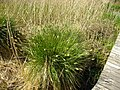 Carex paniculata plant (16).jpg
