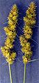 Carex vulpinoidea NRCS-2.jpg