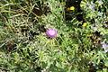 Carmel Flora - Hai-Bar Nature Reserve IMG 0794.JPG