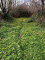 Carpet of celandines - geograph.org.uk - 743782.jpg