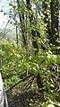 Carpinus betulus, Betulacaeae 03.jpg