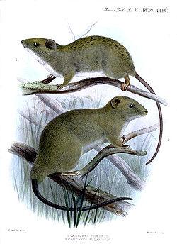 灰呂宋鼠(Carpomys phaeurus,上)和大侏儒雲鼠(Carpomys melanurus,下)