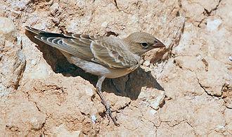 Pale rockfinch - Pale rockfinch in south-eastern Turkey