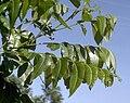 Carya illinoinensis foliage 2.jpg