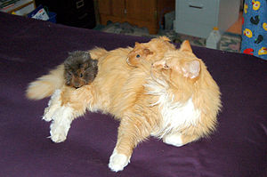 Guinea pig - This cat has accepted this pair of guinea pigs. The success of this type of interspecies interaction varies according to the individual animals involved.