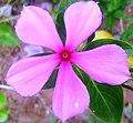 Catharanthus roseus (image remix).JPG