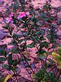 Catharanthus roseus 1.jpg