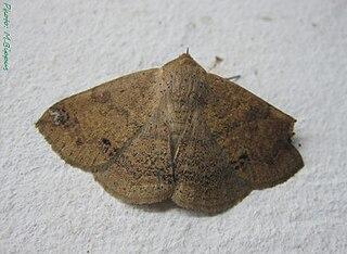<i>Ericeia</i> Genus of moths