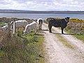 Cattle at Shanaghy-Seanachaidh - geograph.org.uk - 1880700.jpg