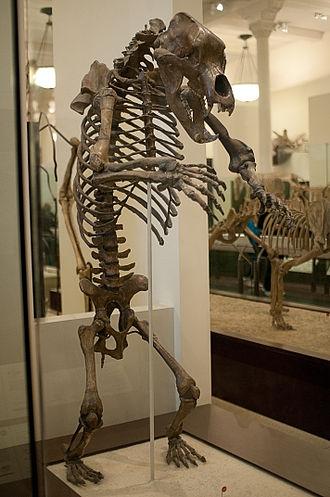 Cave bear - Rearing Ursus spelaeus skeleton
