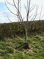 Centenary tree at Yeaveley - geograph.org.uk - 379378.jpg