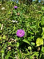 Centratherum punctatum, Brazilian Bachelor's Button, Brazilian Button Flower. .jpg