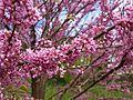 Cercis siliquastrum 3 (Poltava Botanical garden).jpg