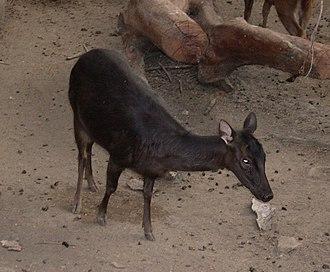 Philippine deer - Image: Cervus Mariannus
