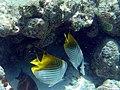 Chaetodon auriga 2.jpg