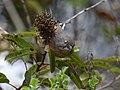 Chamaea fasciata, San Diego 9.jpg