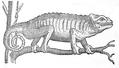 Chameleon illustration-1553-De aquatilibus.png