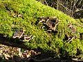Champignons forêt du Murier.jpg