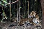 Chapultepec Zoo - Jaguar (01).jpg
