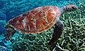 Chelonia mydas, atolón de Palmira.jpg