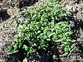 Chenopodium glaucum sl33.jpg
